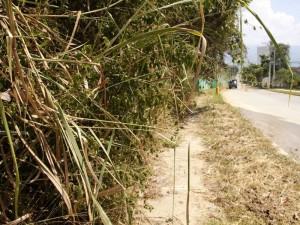 El crecimiento de la swinglia por el camino a Altos del Valle es otro problema para el peatón.