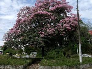 Un lindo paisaje se ve por estos días con los guayacanes florecidos.