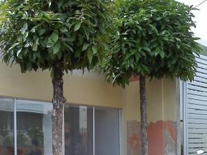 Estos son los árboles que el vecino denuncia se podrían afectar con esta medida.