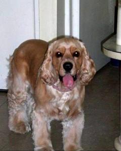 Los dueños de 'Martin', un cocker spaniel dorado de cinco años, lo buscan desde el pasado 17 de agosto cuando se perdió por el barrio Niza.