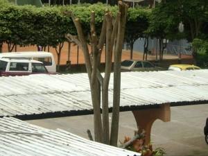 En la foto se muestra el estado en que quedaron podados algunos árboles del conjunto Santa María de Cañaveral. (FOTO Suministrada)