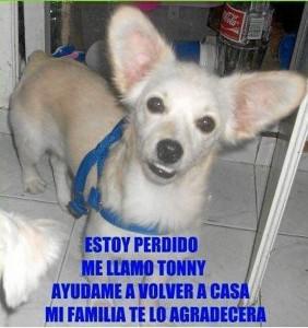 Si usted lo ha visto o tiene información que pueda ayudar a encontrar a esta mascota, por favor comuníquese con los números 318 206 4746 ó 6041242.