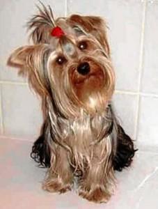 Toto tiene dos años y pertenece a una niña que está muy triste por su mascota perdida.