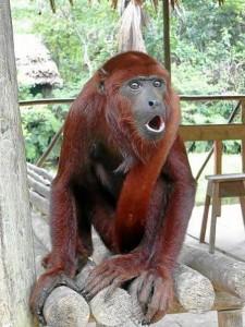 Mono rojo aullador.