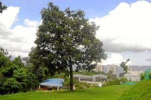 Así se veía el árbol antes de la técnica. Suministrada / GENTE DE CAÑAVERAL