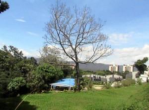 Así quedó el árbol luego de la técnica del anillado. Suministrada / GENTE DE CAÑAVERAL