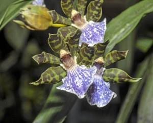 Este híbrido se conoce como Zigosepalum labiosum, por obvias razones es uno de los más apetecidos pues sus manchas de tipo animal hacen de esta flor algo excepcional