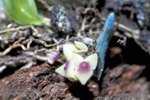 La Stelis es una de las miniaturas que fascina a los europeos, la flor de la fotografía mide tan solo 3 milímetros.