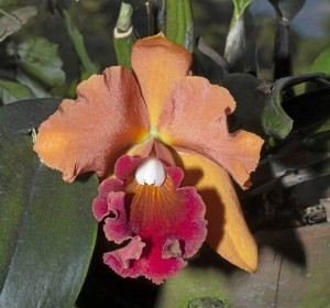 Este híbrido de Cattleya es uno de los más llamativos por su intenso color y su gran tamaño.