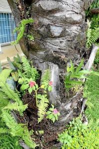En el tallo de la palma sigue naciendo otro tipo de plantas que dan la impresión de que está en perfectas condiciones.