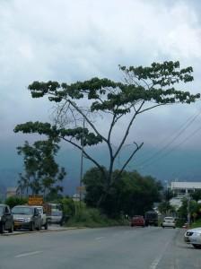 En las fotografías se aprecia que en cualquier momento un fuerte viento podría tirar el árbol al piso y ocasionar una tragedia.  - Imagen suministrada / GENTE DE CAÑAVERAL