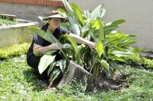 Al parecer las plantas fueron podadas y taladas hace algunos días.  - Laura Herrera/GENTE DE CAÑAVERAL