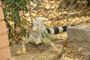 Las iguanas fueron llevadas a la parte superior del río Frío.  - Imegen Suministrada/GENTE DE CAÑAVERAL