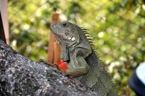 El proyecto busca que las iguanas tengan un hábitat adecuado para ellas.  - Archivo/GENTE DE CAÑAVERAL