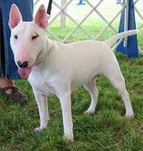 Este es un ejemplar de Bull Terrier.  - Tomada de internet /GENTE DE CAÑAVERAL