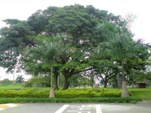 El árbol de Caracolí del Valle, símbolo de Floridablanca.  - Suministrada/GENTE DE CAÑAVERAL