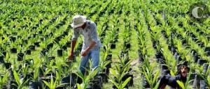Mediante el software creado por los investigadores de la UPB, las plantaciones ya no se contabilizarán de forma manual. - Internet/GENTE DE CAÑAVERAL