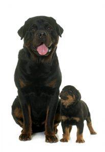 Los propietarios deben conocer las normas sobre tenencia de perros considerados peligrosos, con el fin de evitar sanciones.  - Banco de Imágenes /GENTE DE CAÑAVERAL