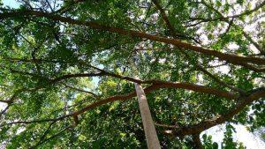 Los residentes aseguran que el poste instalado frente a la portería C de El Bosque afecta el follaje del árbol.  - Suministrada/GENTE DE CAÑAVERAL