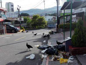La basura en la calle es revolcada por los chulos y perros.  - Suministrada/GENTE DE CAÑAVERAL