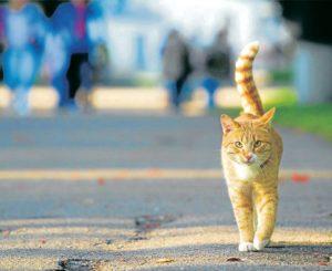 Algunas de las enfermedades que pueden adquirir los gatos domésticos cuando salen a la calle son el sida felino, la leucemia felina, el moquillo y los parásitos como las pulgas y garrapatas. - Banco de Imágenes / GENTE DE CAÑAVERAL
