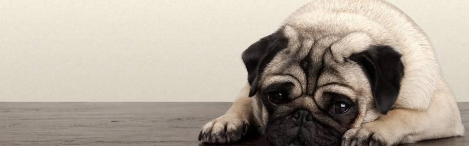 Claves para identificar el dolor en su mascota
