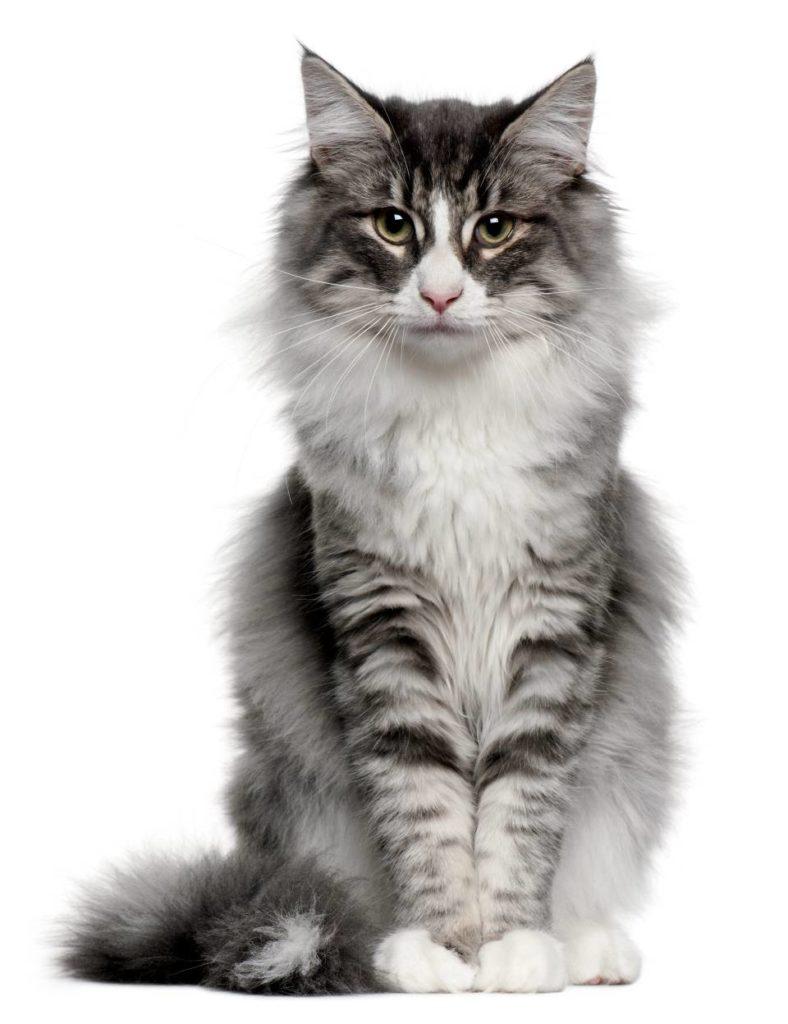 La experta ofrece algunas recomendaciones para evitar que los felinos adquieran esta enfermedad. - Banco de Imágenes / GENTE DE CAÑAVERAL