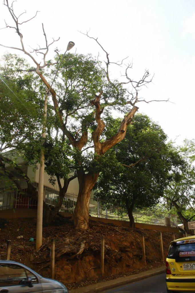 El AMB ya otorgó el permiso para la tala de este árbol ubicado en El Bosque. - César Flórez/GENTE DE CAÑAVERAL