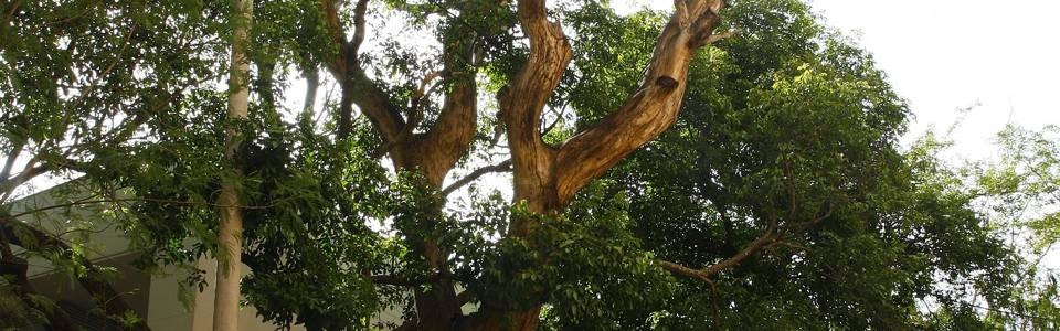 Árbol amenaza con causar  accidente