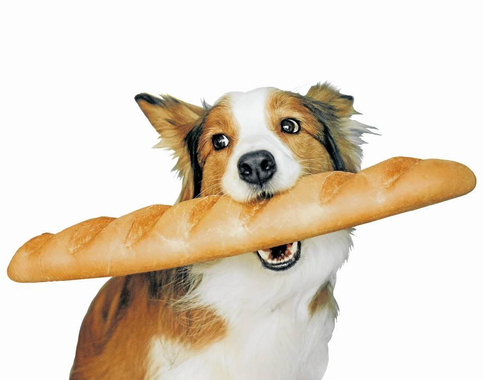 El pan no es un alimento idoneo para los perros, porque esta compuesto principalmente de hidratos de carbono y no de proteina animal. - Banco de Imagenes/GENTE CAÑAVERAL