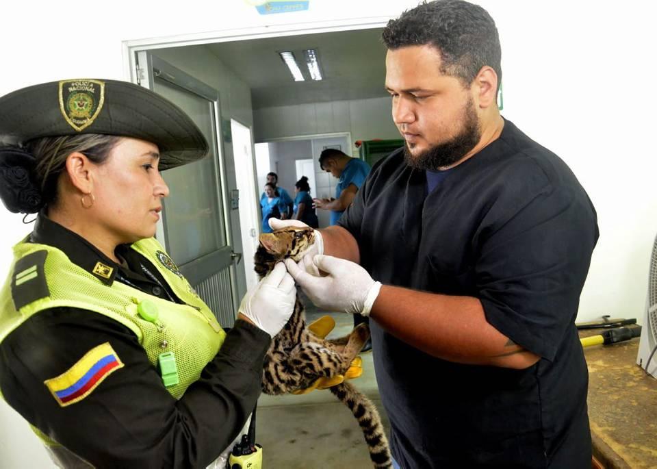 El animal fue dejado bajo el cuidado del personal especializado de la Cdmb. - Fabián Hernández /GENTE DE CAÑAVERAL
