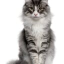 Mitos y realidad sobre el toxoplasma en los gatos