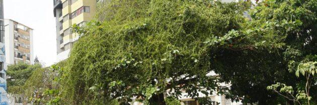 Piden atención  para un árbol